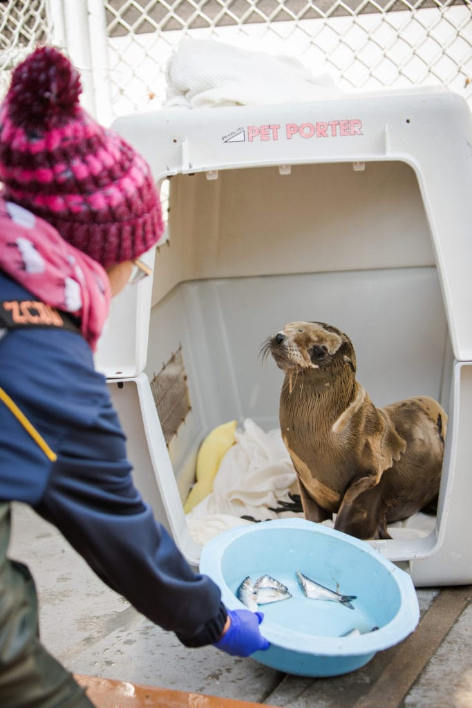 A sick sea lion pup (the same one that graces our February 2020 cover) is fed fish from a volunteer while recuperating at the Marine Mammal Care Center. (photo: John Mattera Photography)
